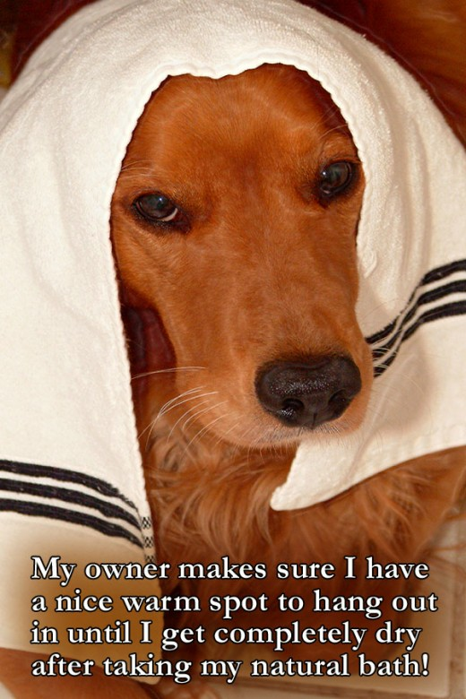 """When drying off my dog, """"Kal"""" prefers Egyptian cotton towels to dry off with following his bath.  It must be the natural fiber!"""