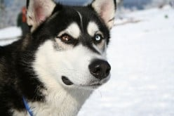 How to Choose the Dog Breed for You- About the Siberian Husky