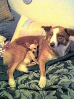 Have you ever heard of a Border Collie nursing Chihuahua puppies??