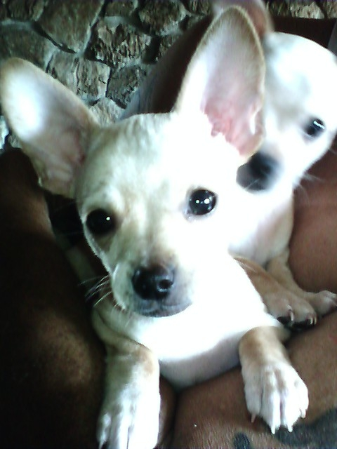 "Kamakaze and Kawasaki-the chihuahua puppies. They play so rough that the ""nanny"" has to break them up......"