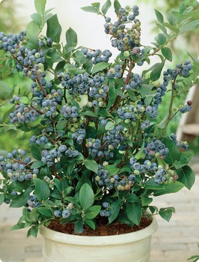 Dwarf Top Hat Blueberry