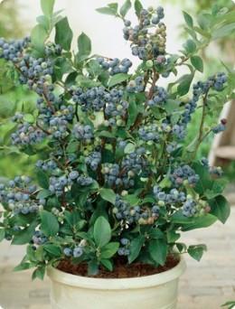 Dwarf Top Hat Blueberry