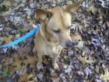 Reeses, The Dog. A walk in the Fall leaves.