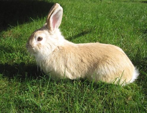 'Pip' the rabbit