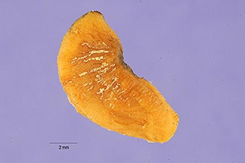 Balsam of Tolu Bark