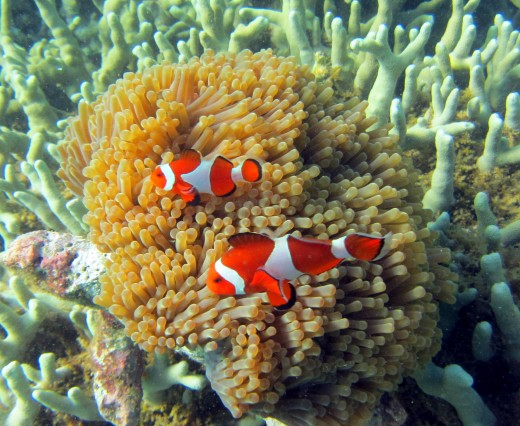 ocellaris clownfish or 'Nemo'