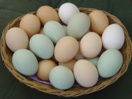 Fresh Eggs from Backyard Chicken