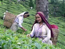 Women picking tea in Darjeeling.