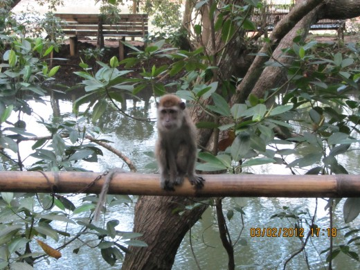 one of the MOAP zoo monkeys chained up by the mangrove forest