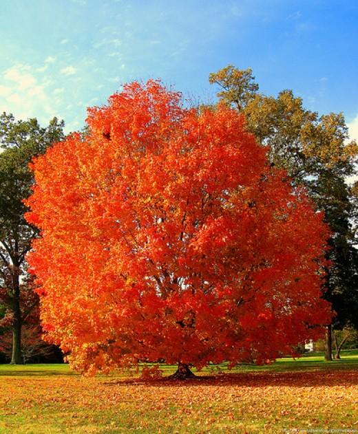 Flaming orange red autumn tree