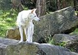 Rare photo of White dingo