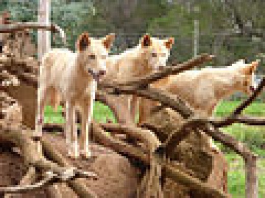 Dingoes at Phillips Island
