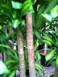 Caring for Dracaena Mass Cane; Corn Plant,  Massangeana
