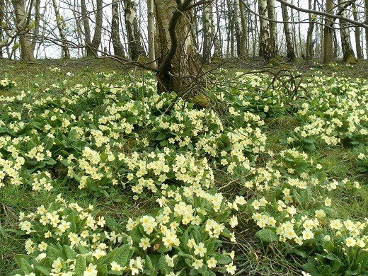 a carpet of primroses