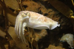 What's the difference between cuttlefish and squids?