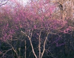 This young Redbud tree has not yet reached full bloom.  There is a white Redbud also.  Mother's favorite color was pink, any shade.