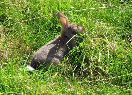 Rabbit with Myxomatosis