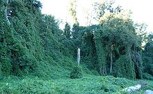 Kudzu covered area