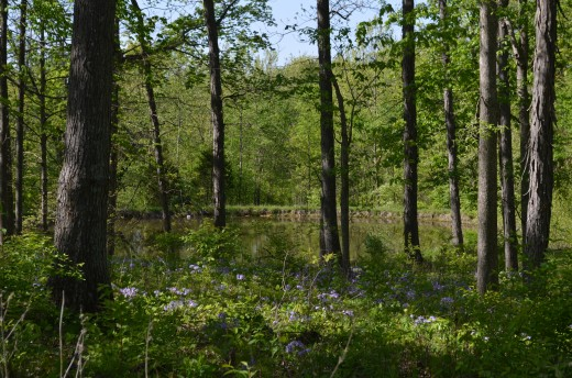 When looking into the woods you can see the purple blooming phlox and the fishing pond.