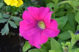 Magenta Petunia Flower