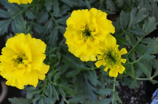 Bright Yellow Marigold Flowers