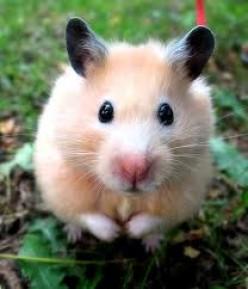 Funny Short Hamster Joke - Number Seven