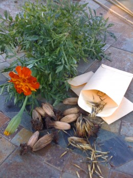 Saving you own seed year after year will create a variety uniquely suited to your environment.