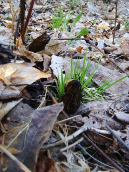 Morels in the 'wild' note that their color is much darker than the surrounding area
