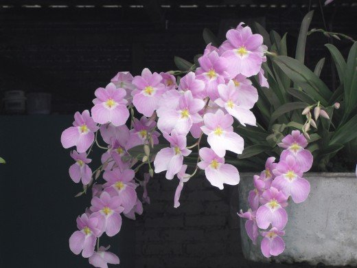 Orchids growing in an old tin pan