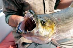 The Goliath Tigerfish