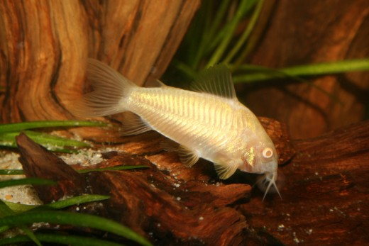 "This albino corydora is one of the most popular and easy-to-find types of catfish. In a properly set up tank, a school of these fish create a flurry of activity in the lower ""layer"" of water."