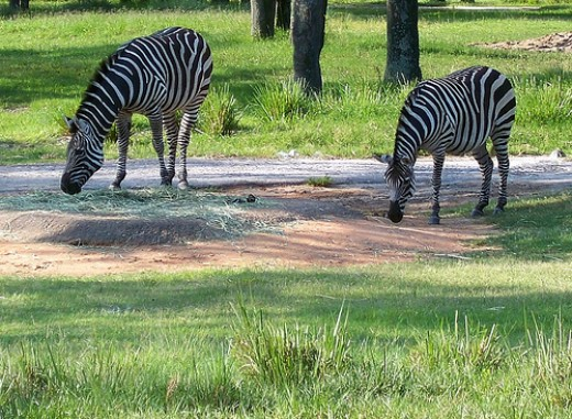Zebras on the Animal Kingdom Lodge Savannah    Photo by flickr.com/photos/sheepguardingllama/