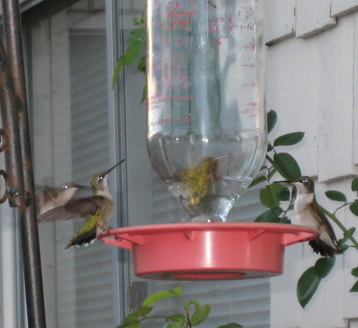 I did not have to go to the Rockport Hummingbird Festival... the hummingbirds came to my kitchen door!