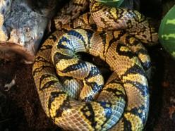 Elaphe Mandarina / Euprepiophis Mandarinus / Mandarin Rat Snake