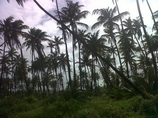 Coconut trees in Manzanilla