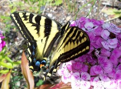 Planning A Backyard Butterfly Garden