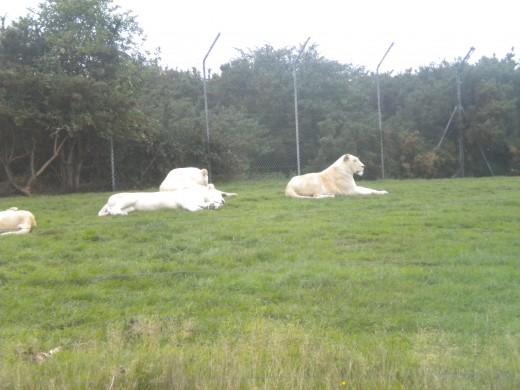 The White Lion pride.