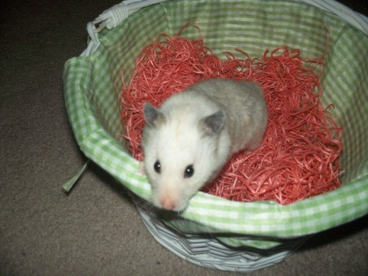 Mimi the hamster in the basket.