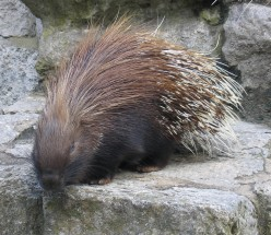 How does a porcupine attack an enemy?