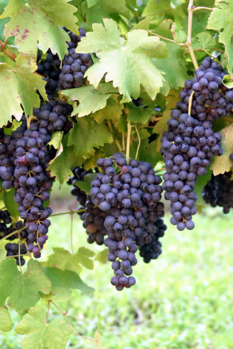 Eat or drink grapes and increase the antioxidant capacity of your plasma, fight the free radicals.
