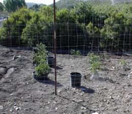 One of my beginning tomato gardens.