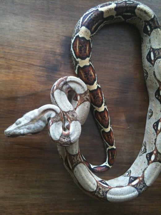 Boa Constrictor Costa-Rica