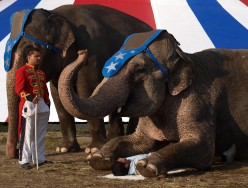 Do circuses use Indian or African elephants?
