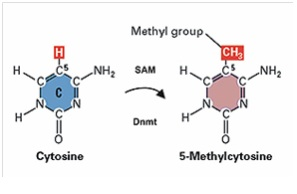 Showing how cytosine become methylated. As seen a Methyl group is added to cytosine.