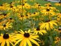 Black Eyed Susan Flowers - Rudbeckia Coneflower