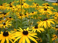 Black Eyed Susan Flowers - Rudbeckia Coneflower