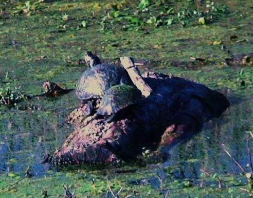 turtles sunning on a rock
