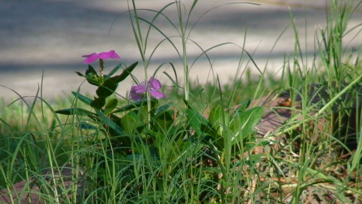 flowers growing wild in my yard