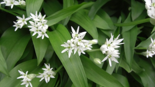 The wild garlic leaves are good in soups, stews, sauces and with anything where you want a garlic flavour.