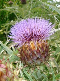 Why is the thistle the national emblem of Scotland?